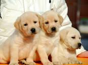 Собаки, щенки Лабрадор ретривер, цена 15 000 рублей, Фото