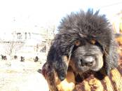 Собаки, щенки Тибетский мастиф, цена 100 000 рублей, Фото