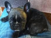 Собаки, щенки Французский бульдог, цена 25 000 рублей, Фото