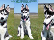 Собаки, щенки Сибирский хаски, цена 20 000 рублей, Фото