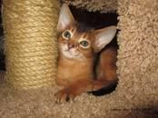 Кошки, котята Абиссинская, цена 30 000 рублей, Фото