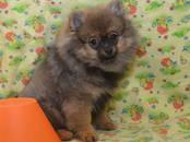 Собаки, щенки Померанский шпиц, цена 20 000 рублей, Фото