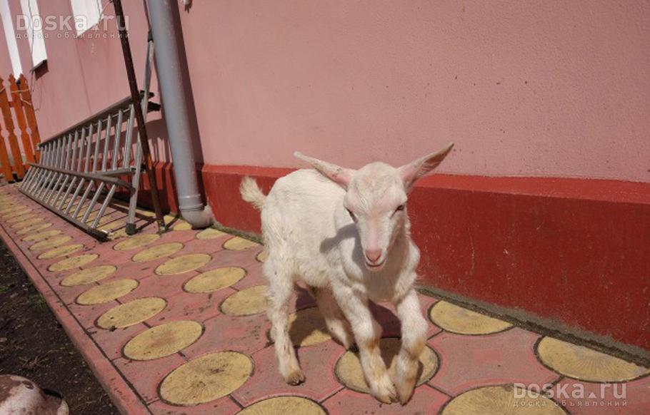 Доска.ру Сельхоз животные - Козы Продаю чистокровных ...: https://www.doska.ru/msg/agriculture/animal-husbandry/agricultural-animals/goats/hjnhh.html