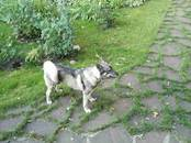 Собаки, щенки Западно-Сибирская лайка, цена 35 000 рублей, Фото
