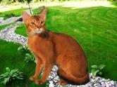 Кошки, котята Абиссинская, цена 13 000 рублей, Фото