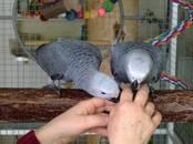 Попугаи и птицы Попугаи, цена 6 500 рублей, Фото