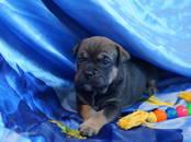 Собаки, щенки Мальоркский бульдог (Ка Де Бо), цена 45 000 рублей, Фото