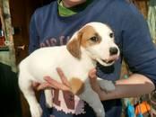 Собаки, щенки Джек Рассел терьер, цена 15 000 рублей, Фото