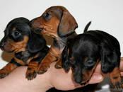 Собаки, щенки Неизвестная порода, цена 10 000 рублей, Фото