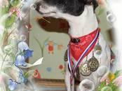 Собаки, щенки Джек Рассел терьер, цена 25 000 рублей, Фото