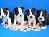 Собаки, щенки Бостонтерьер, цена 70 000 рублей, Фото