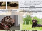 Собаки, щенки Лабрадор ретривер, цена 35 000 рублей, Фото