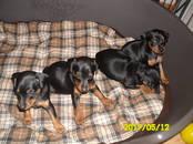 Собаки, щенки Карликовый пинчер, цена 500 y.e., Фото