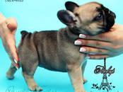 Собаки, щенки Французский бульдог, цена 45 000 рублей, Фото