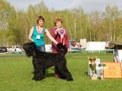 Собаки, щенки Черный терьер, цена 35 000 рублей, Фото