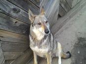 Собаки, щенки Западно-Сибирская лайка, цена 6 000 рублей, Фото