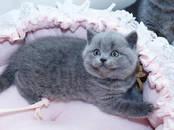 Кошки, котята Британская короткошерстная, цена 16 000 рублей, Фото
