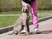 Собаки, щенки Веймарская легавая, цена 35 000 рублей, Фото