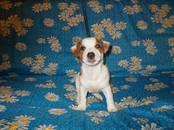 Собаки, щенки Джек Рассел терьер, цена 20 000 рублей, Фото