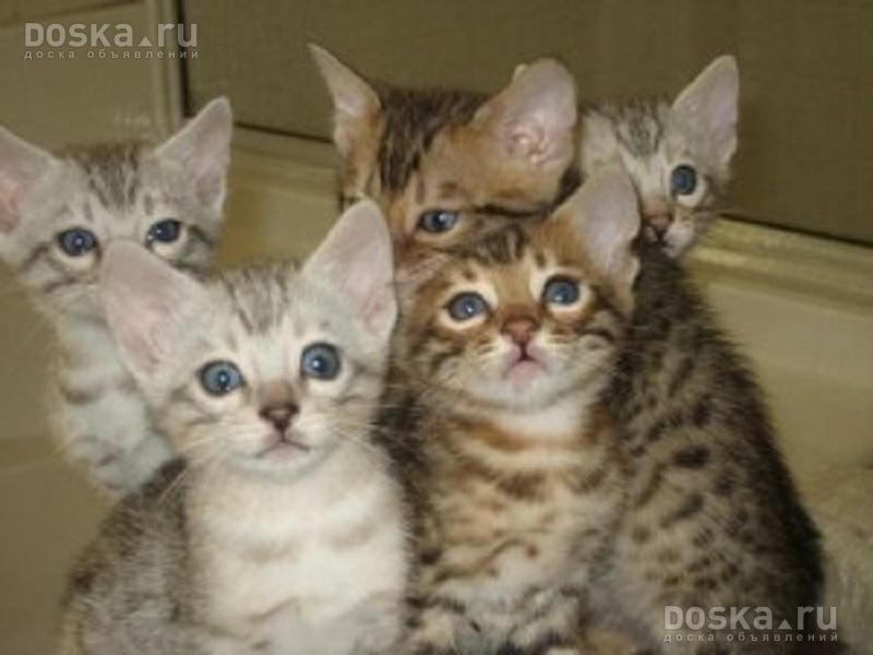 cat scratch fever pics
