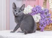 Кошки, котята Русская голубая, цена 600 y.e., Фото