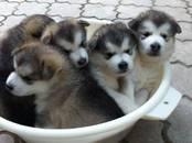 Собаки, щенки Аляскинский маламут, цена 25 000 рублей, Фото