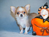 Собаки, щенки Чихуа-хуа, цена 15 000 рублей, Фото