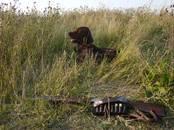 Собаки, щенки Ирландский сеттер, цена 40 000 рублей, Фото