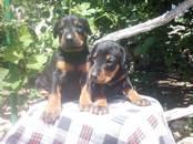 Собаки, щенки Доберман, цена 10 000 рублей, Фото