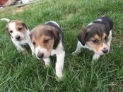 Собаки, щенки Разное, цена 10 000 рублей, Фото