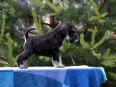 Собаки, щенки Цвергшнауцер, цена 45 000 рублей, Фото
