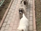 Собаки, щенки Кавказская овчарка, цена 27 000 рублей, Фото