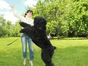 Собаки, щенки Черный терьер, цена 50 000 рублей, Фото
