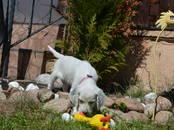 Собаки, щенки Английский сеттер, цена 75 000 рублей, Фото
