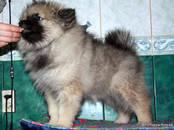 Собаки, щенки Вольфшпиц, цена 50 000 рублей, Фото