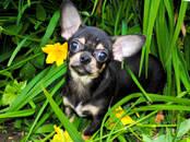 Собаки, щенки Чихуа-хуа, цена 10 000 рублей, Фото