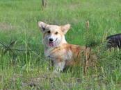 Собаки, щенки Вельш корги пемброк, цена 45 000 рублей, Фото