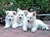 Собаки, щенки Белая Швейцарская овчарка, цена 25 000 рублей, Фото