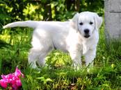 Собаки, щенки Золотистый ретривер, цена 40 000 рублей, Фото