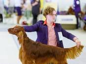 Собаки, щенки Ирландский сеттер, цена 30 000 рублей, Фото