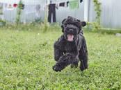 Собаки, щенки Черный терьер, цена 45 000 рублей, Фото