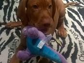 Собаки, щенки Венгерская выжла, цена 25 000 рублей, Фото