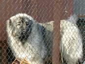 Собаки, щенки Кавказская овчарка, цена 15 000 рублей, Фото