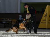 Собаки, щенки Немецкая овчарка, цена 10 000 рублей, Фото