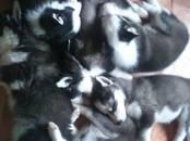 Собаки, щенки Сибирский хаски, цена 10 000 рублей, Фото