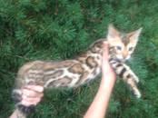 Кошки, котята Бенгальская, цена 30 000 рублей, Фото