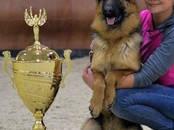 Собаки, щенки Немецкая овчарка, цена 39 000 рублей, Фото