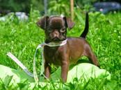 Собаки, щенки Брабантский гриффон, цена 70 000 рублей, Фото