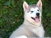 Собаки, щенки Аляскинский маламут, цена 30 000 рублей, Фото