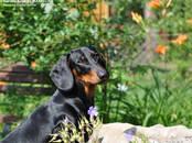 Собаки, щенки Гладкошерстная такса, цена 30 000 рублей, Фото